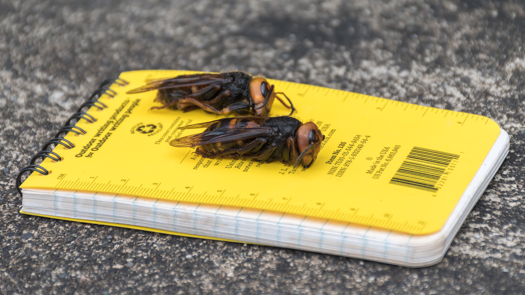 Asian giant hornets on a field notebook.