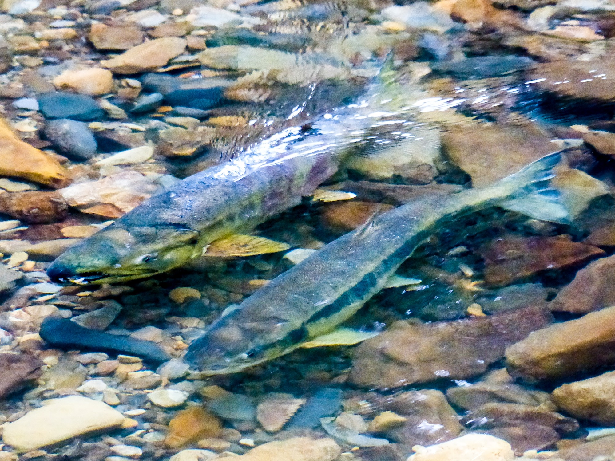 Chum salmon (Photo by David Ryan for TNC)