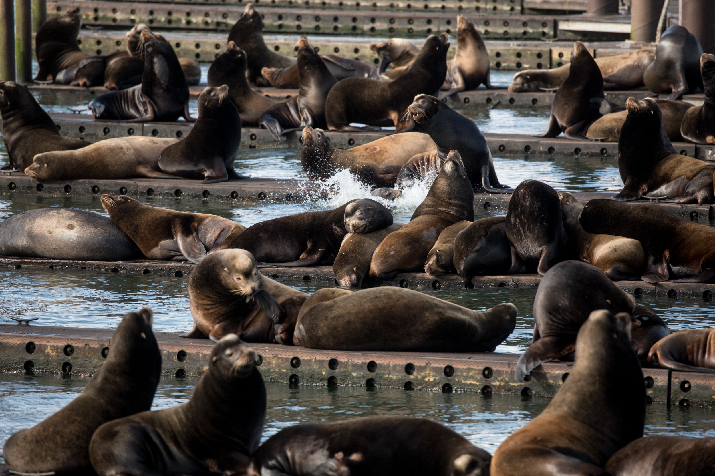 Sea lions congregate and sing from the east Mooring Basin in Astoria, Oregon.
