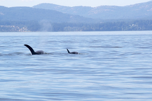 Orcas near Sequim