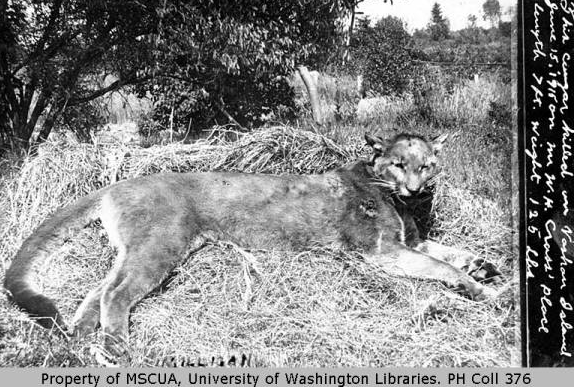 A cougar killed on Vashon Island in 1913 (Courtesy of UW)