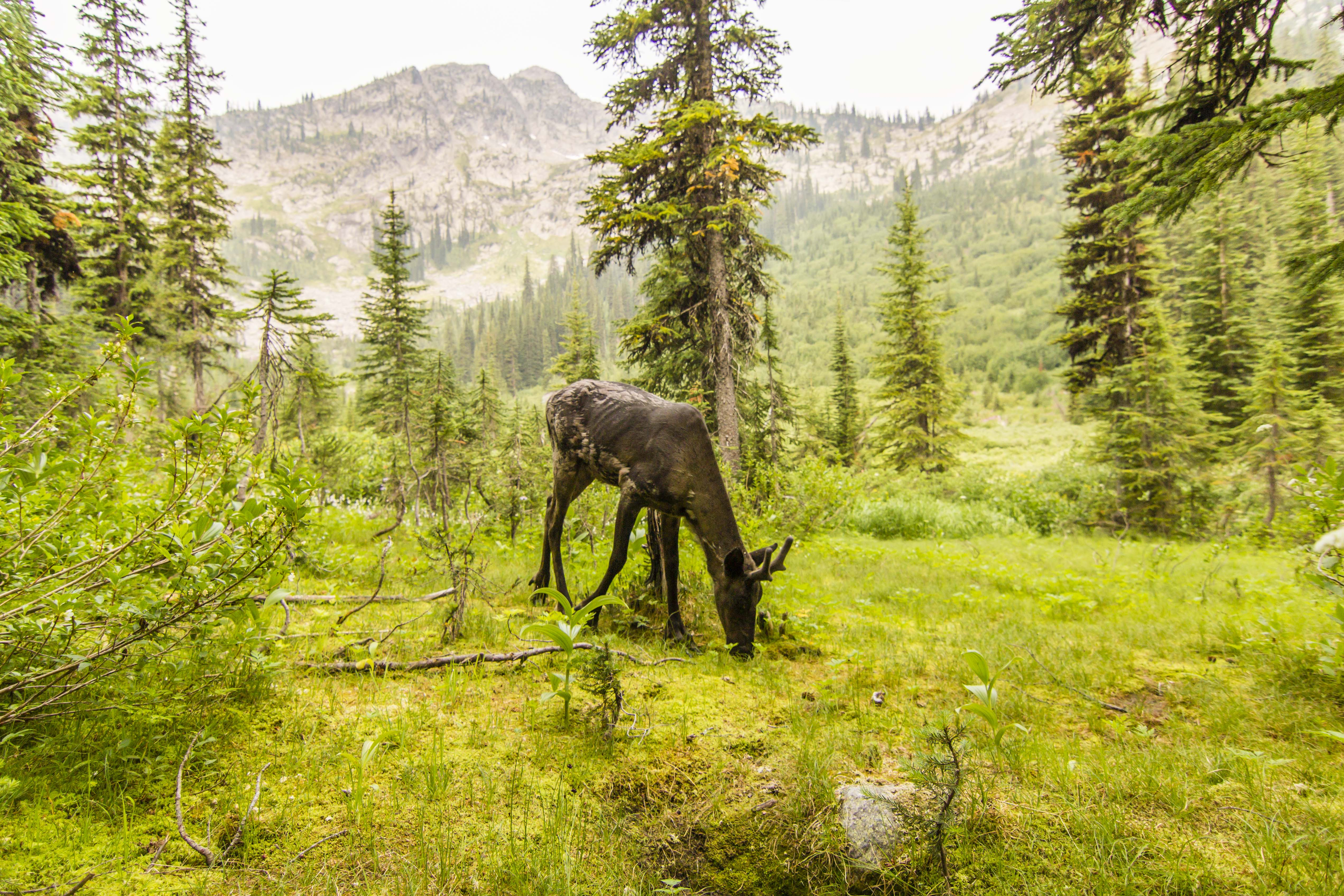 A mountain caribou grazes in the 'Caribou Rainforest,' one designation for the inland temperate rain forest spanning the Pacific Northwest and southern Canada.