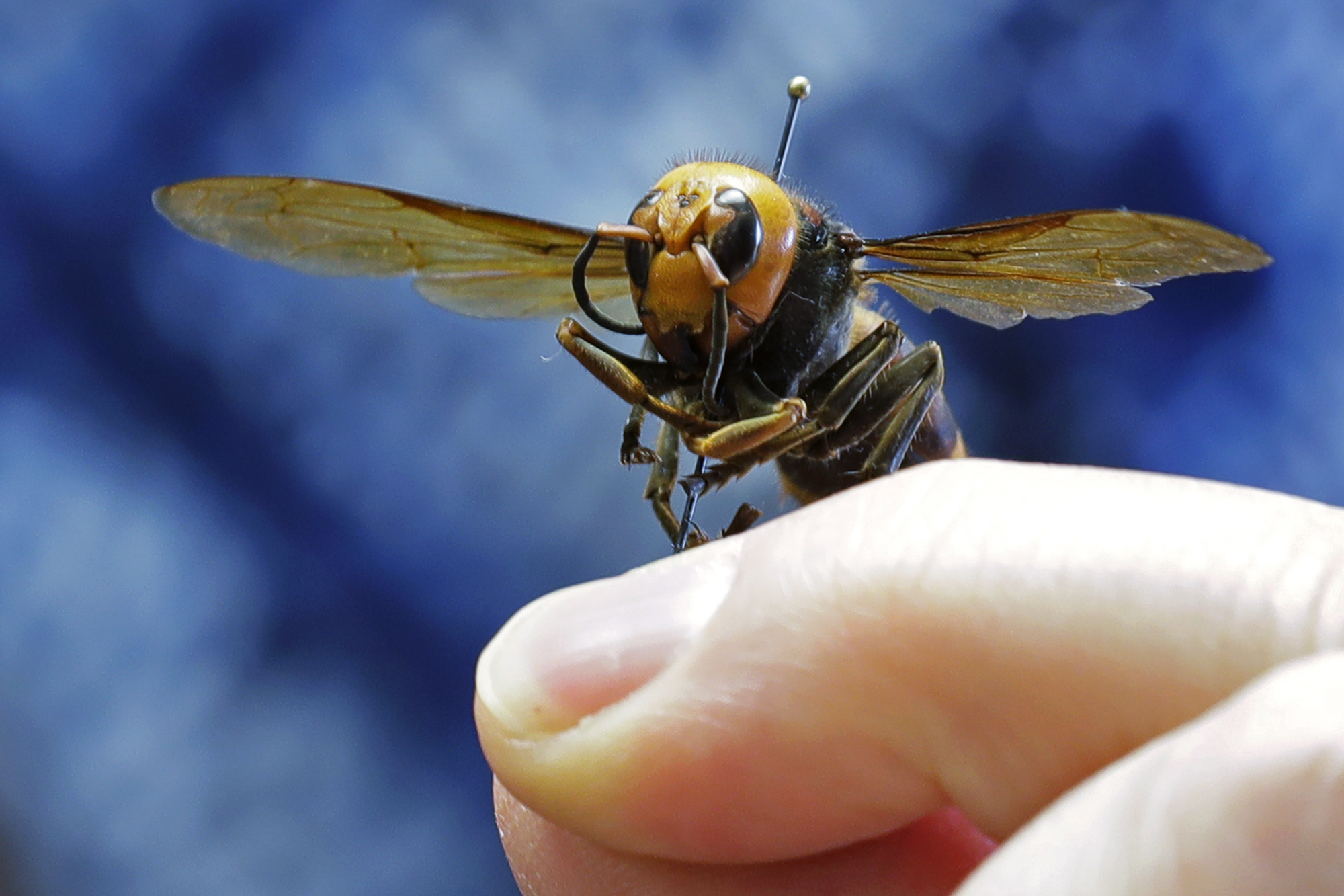Asian giant hornet perched on human finger