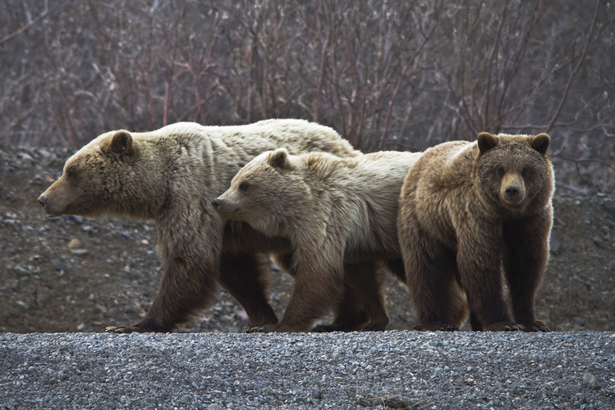 Grizzly bears in Denali National Park