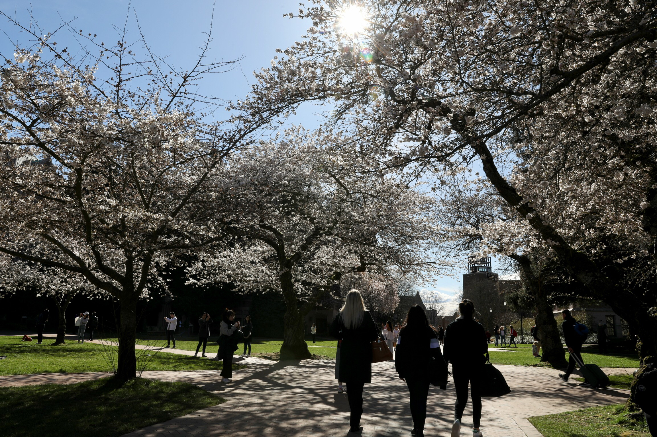 People walk amid blooming cherry blossoms trees during a sunny afternoon on the UW Quad in Seattle on March 15, 2018.