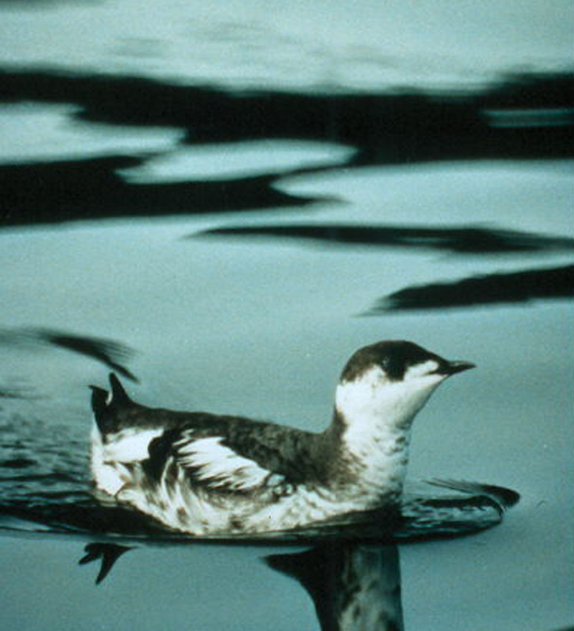 Marbled_Murrelet_at_sea_USFWS_Thomas_Hamer.jpg
