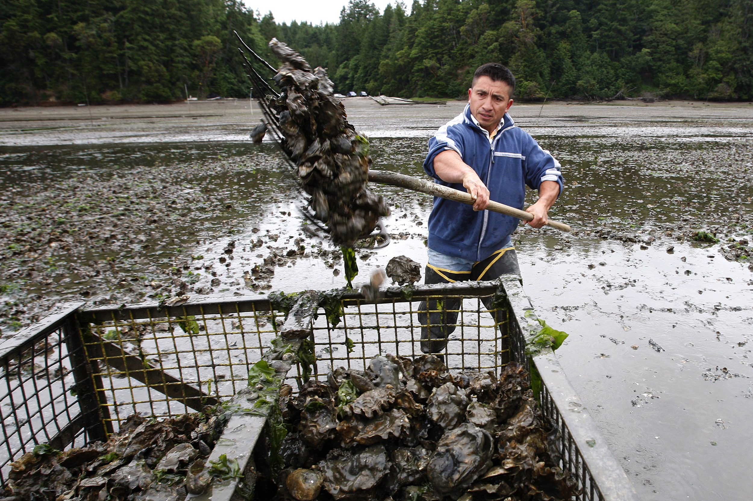 In this June 21, 2010 file photo, Efrain Rivera uses a pitchfork to harvest Pacific oysters at low tide at a Farm owned by Taylor Shellfish Co. in Oyster Bay, near Olympia. (Photo by Ted S. Warren/AP)