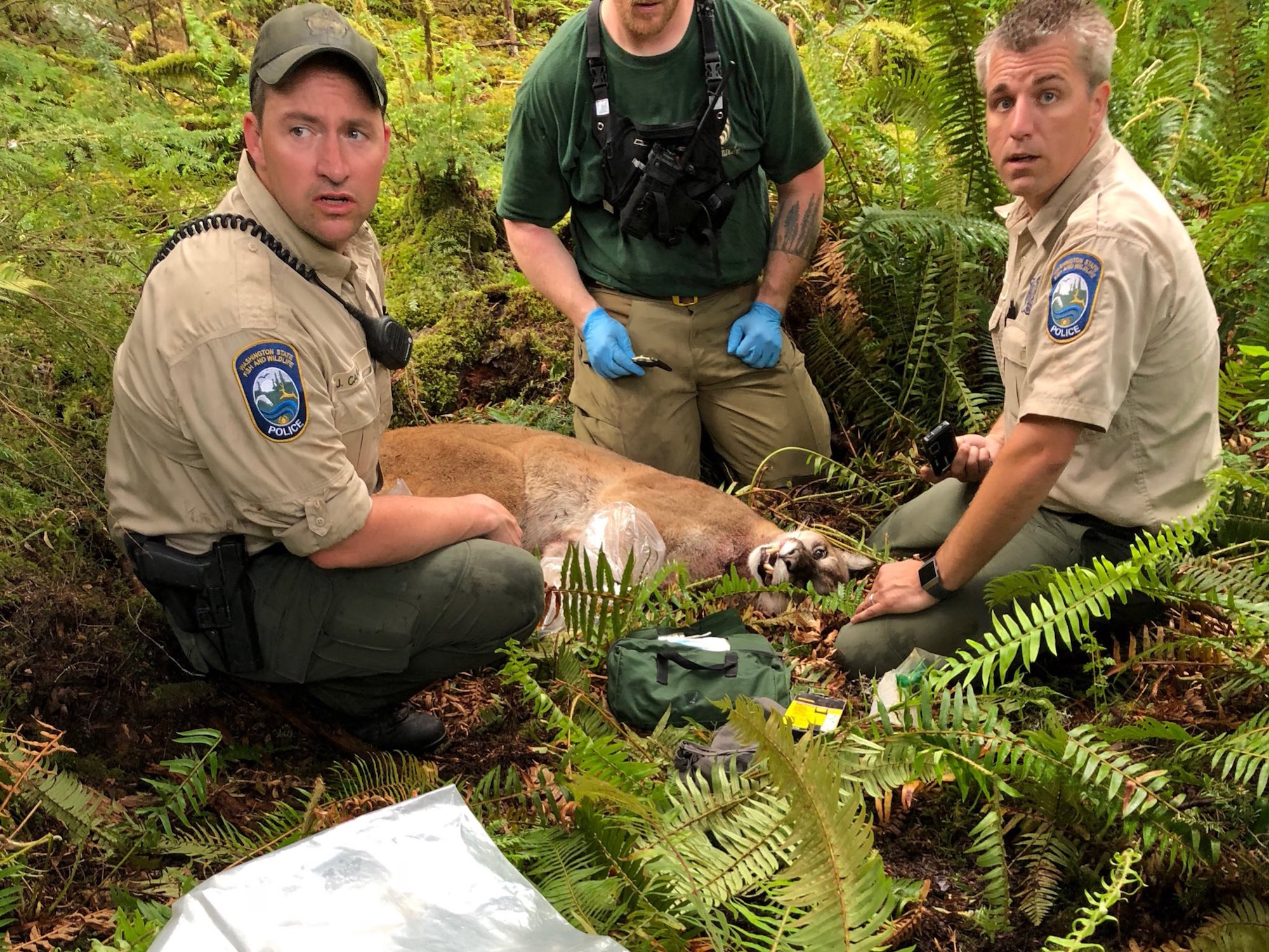 A cougar suspected of killing a mountain biker
