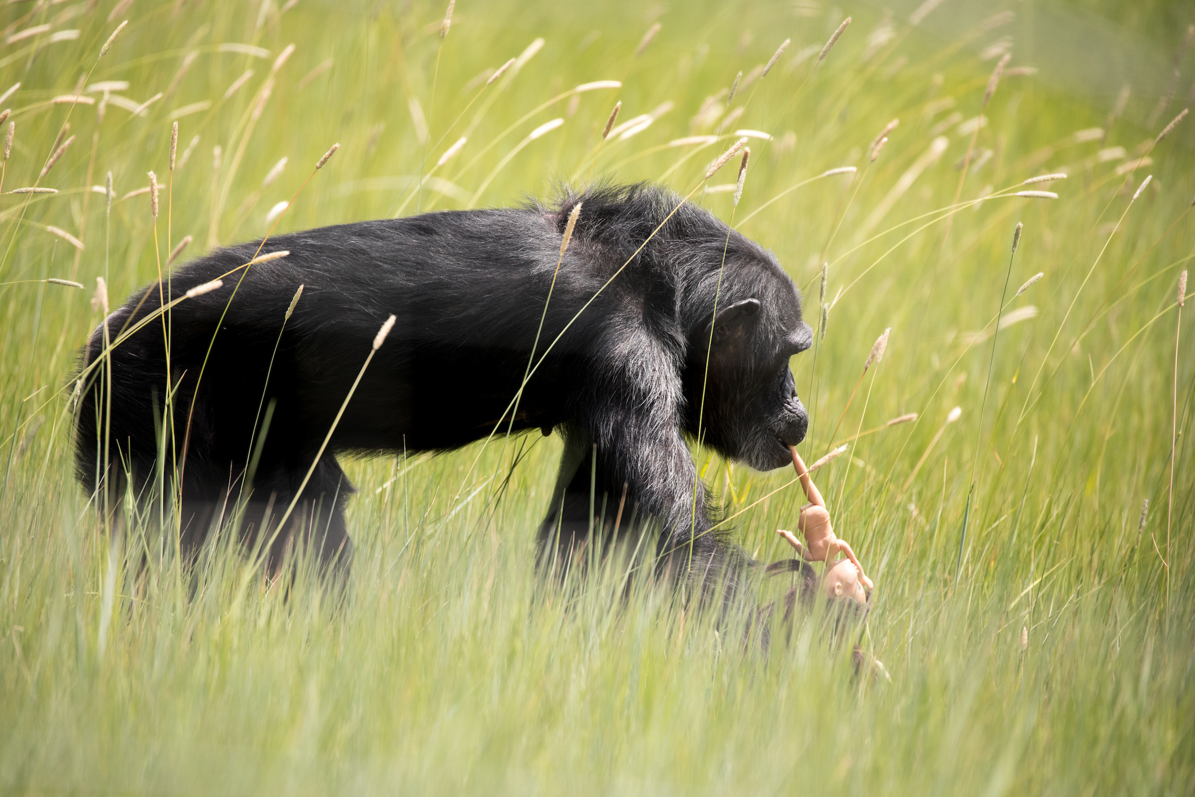 A chimp wanders the grass at the Chimpanzee Sanctuary Northwest near Cle Elum.