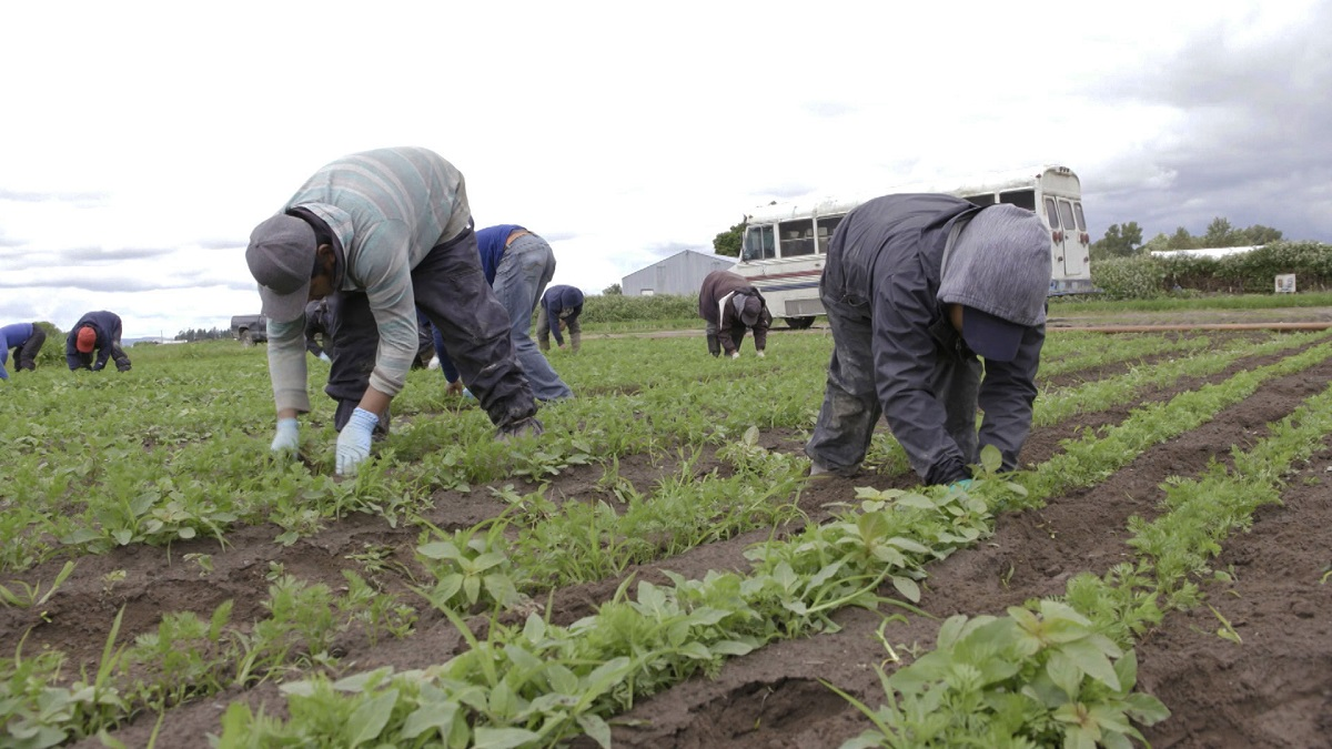 Young Migrant Workers Toil in U.S. Fields