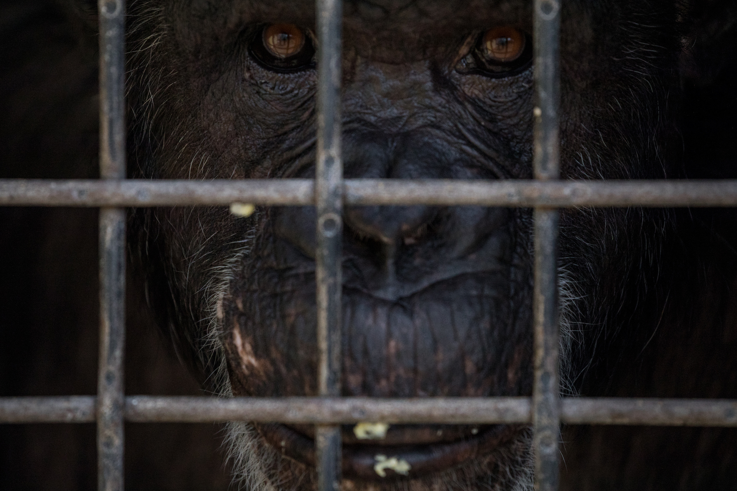 A close-up of a chimp peeking through the fence at the sanctuary.