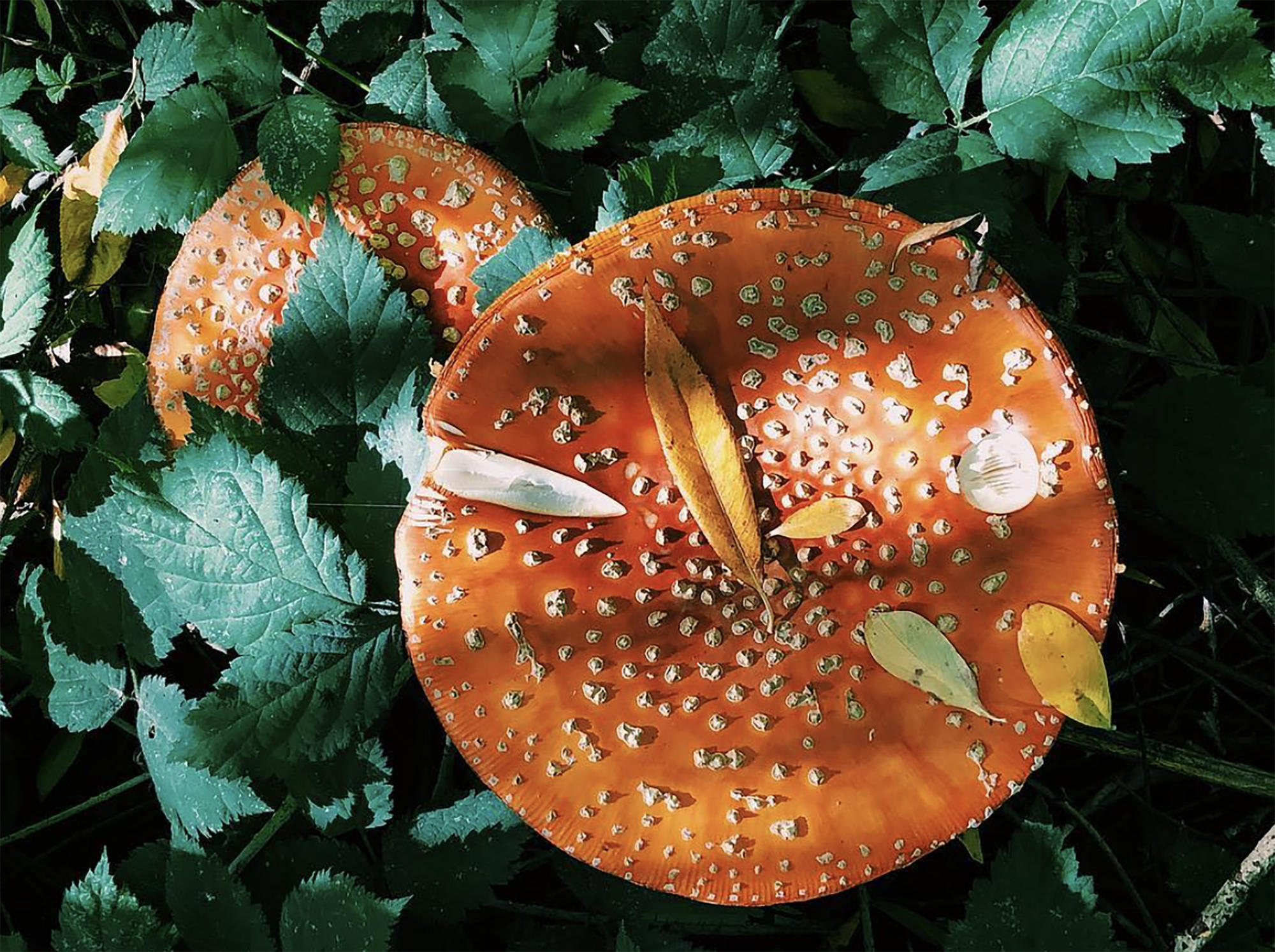 Listen   The risks and rewards of mushroom hunting in the Northwest