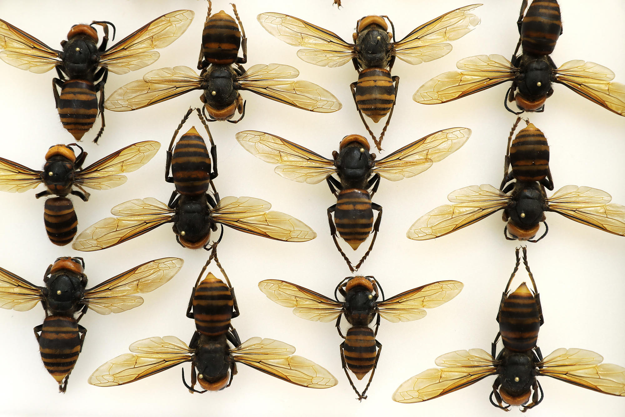 crosscut.com: When catchy names for insects sting — think 'Asian giant hornet'
