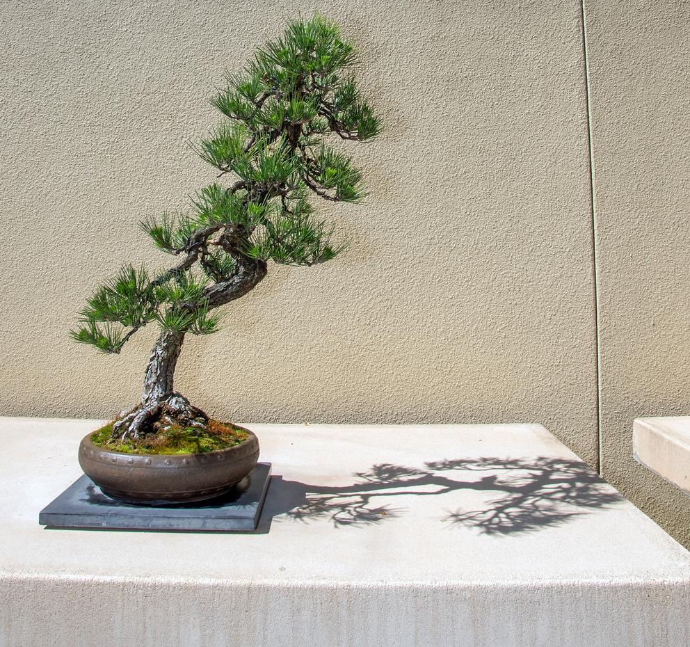 The Safe Return Of Two Bonsai Trees Restores A Piece Of Japanese American History Crosscut