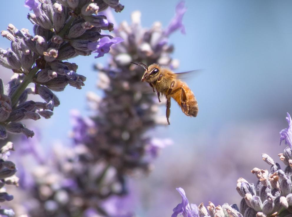 After Mass Die Offs And Gloomy Reports New Hope For Bees In Seattle Crosscut