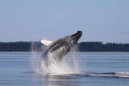 A humpback whale breaches in the Salish Sea