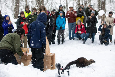 A fisher escapes from a transport box into a snowy clearing, surrounded by adults and children.