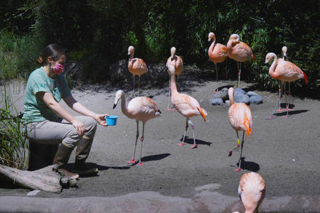 Animal keeper feeds the flamingos