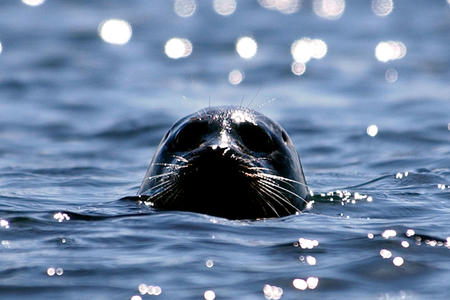 A seal sticks its head out of the water