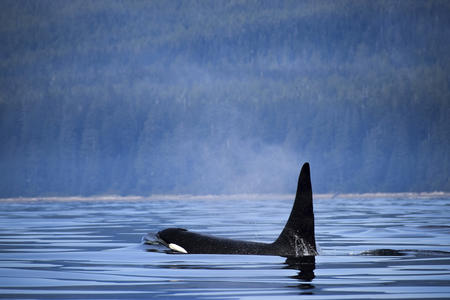 A killer whale breaches the surface near Vancouver Island, Canada.