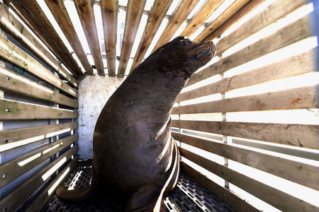 FILE - In this March 14, 2018, file photo, a California sea lion waits to be released into the Pacific Ocean in Newport, Ore. A bill that would make it easier to kill sea lions that gobble endangered salmon in the Columbia River has cleared a key committee in the U.S. Senate. The measure allows the federal government to issue permits to Washington, Idaho and Oregon, and several Pacific Northwest tribes, allowing up to 100 sea lions to be killed a year. (AP Photo/Don Ryan, file)