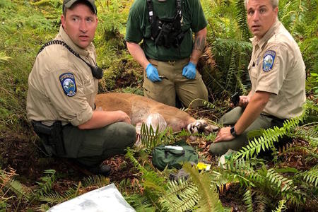 Agents with a cougar that was believed to have killed a mountain biker