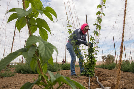 Farmworker working with hops