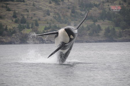 "An endangered southern resident killer whale frolics in the water while wearing a ""DTag."""
