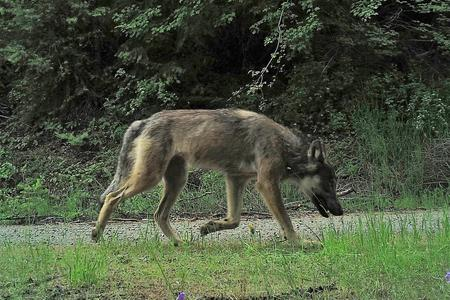 large male wolf caught on camera