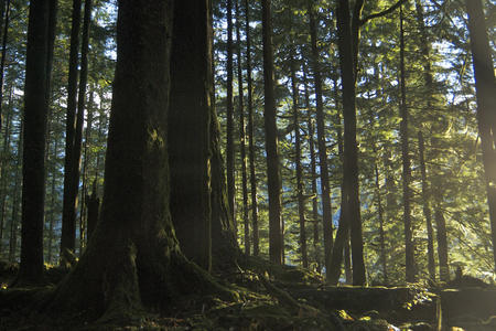 File photograph from 2011 of an old growth forest on the Quinault Indian Nation in Washington state. (wild trees via Flickr)
