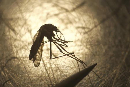 Close-up photo of a mosquito with its legs held tightly by a pair of tweezers, against a warm, backlit glow.