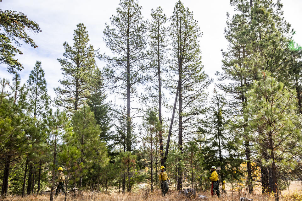 Crews work on thinning parts of the Teanaway Community Forest on Wednesday, Oct. 24, 2018, as a part of Washington State Lands Commissioner Hilary Franz's forest health treatment plan. The Department of Natural Resources is implementing the treatment plan which uses dying forest for cross laminated timber. Franz says this plan will also help keep the cost of wildfire suppression down and make forests more resilient to wildfires. (Photo by Dorothy Edwards/Crosscut)