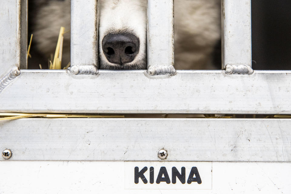 A sled dog in his crate at Camp Koinonia in Cle Elum on Saturday, Jan. 12, 2019. (Photo by Dorothy Edwards/Crosscut)