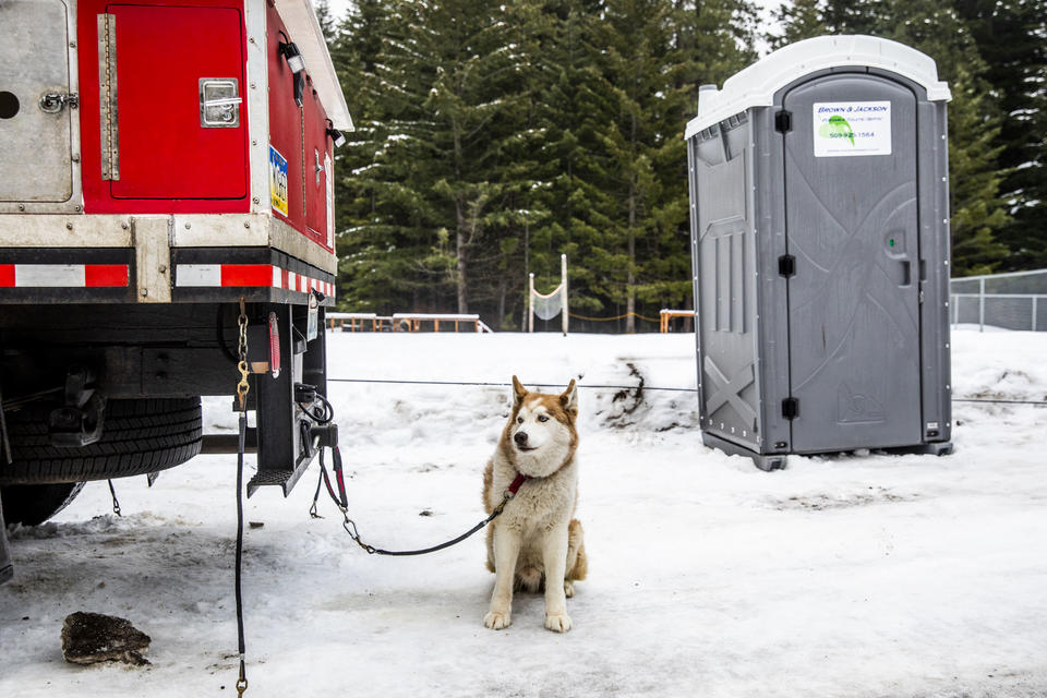 A sled dog in between races during the Northwest Sled Dog Association Dogtown Winter Derby at Camp Koinonia in Cle Elum on Saturday, Jan. 12, 2019. (Photo by Dorothy Edwards/Crosscut)
