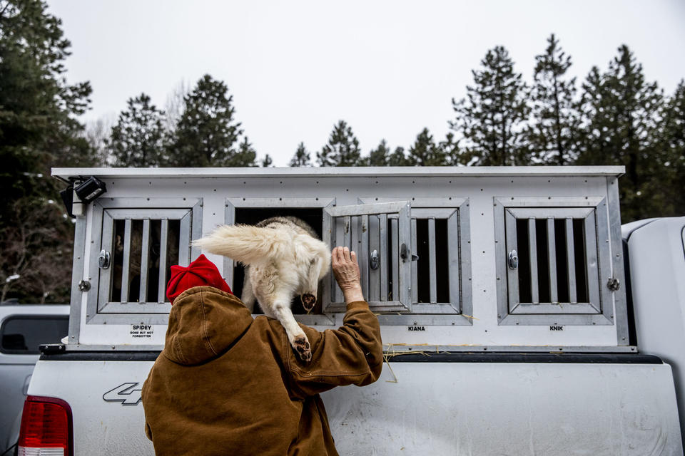 Rodney Whaley puts his dogs in their crates in between races during the Northwest Sled Dog Association Dogtown Winter Derby at Camp Koinonia in Cle Elum on Saturday, Jan. 12, 2019. (Photo by Dorothy Edwards/Crosscut)