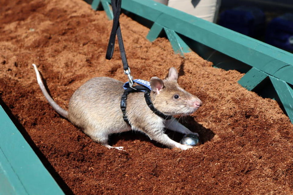 A large rat in a harness digs in a pen filled with dirt.