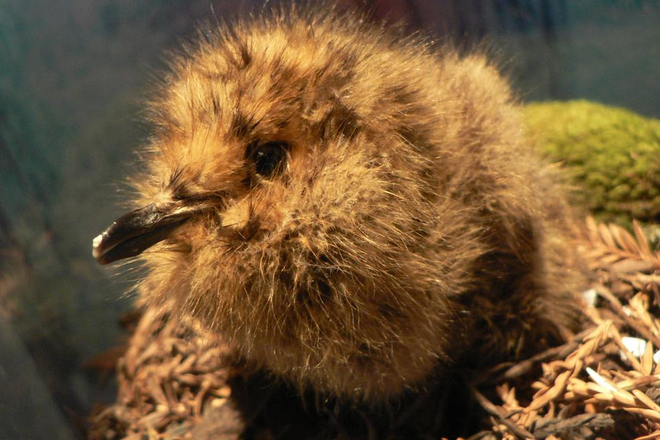 Marbled_Murrelet_chick