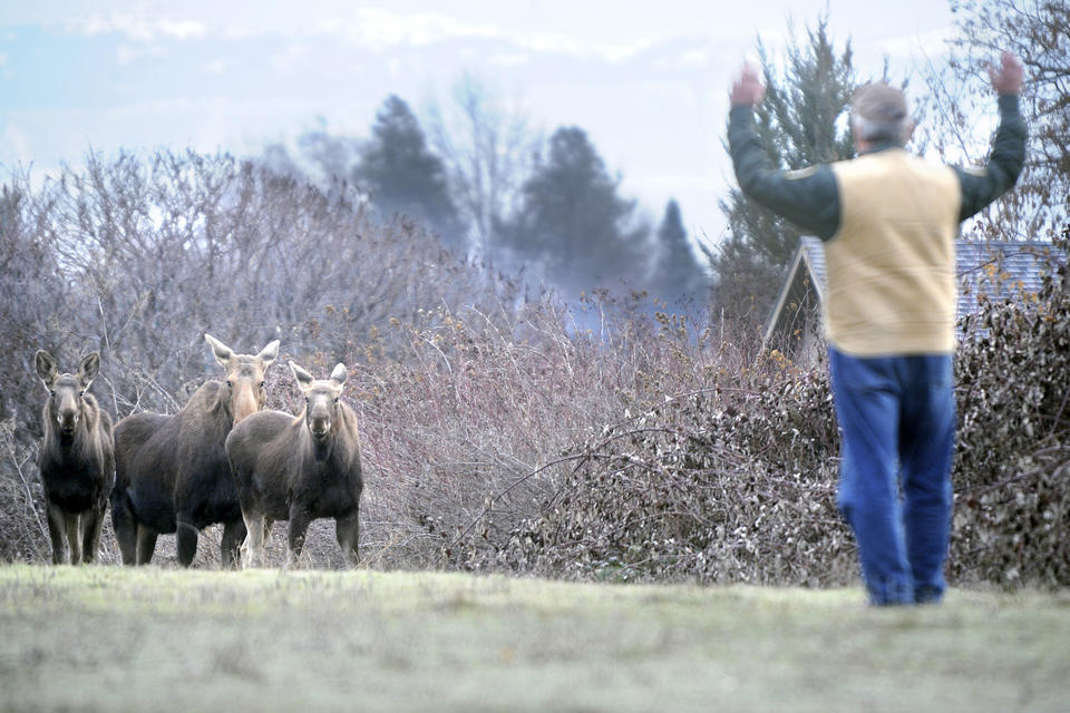 moose on a Walla Walla golf course with a biologist waving his arms