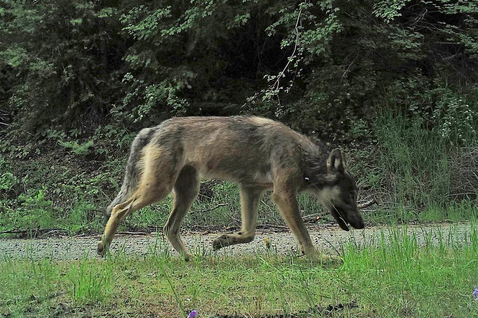 A male wolf from the Sherman Pack captured by camera trap. (Photo courtesy of Conservation Northwest)